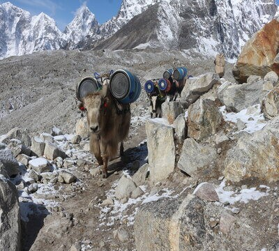 Yak - Everest Base Camp Trek